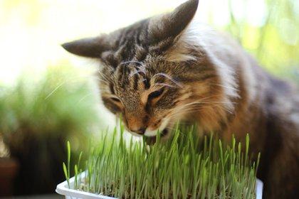 ARCHIVO - El pasto para gatos puede ser una buena opción para que el felino deje tranquilas a las demás plantas de la casa. Foto: Ina Fassbender/dpa